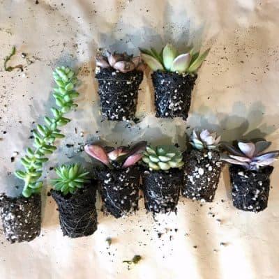 succulents for planter