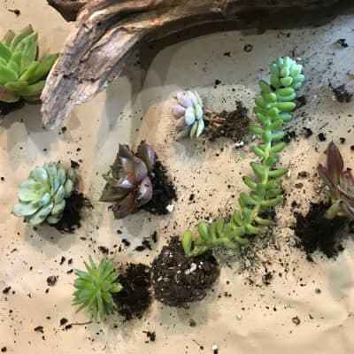 succulents for driftwood planter