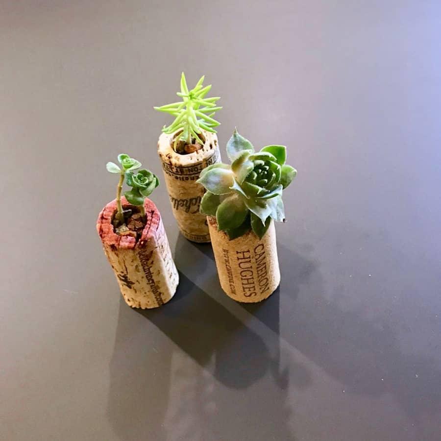 succulents inside wine corks