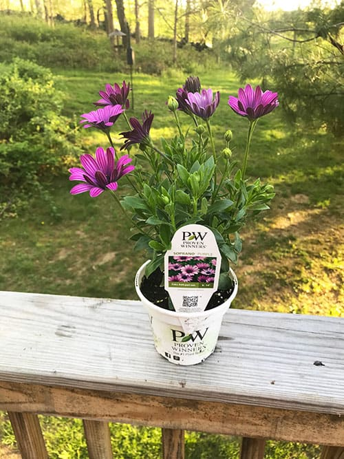 potted Soprano Purple plant for planter