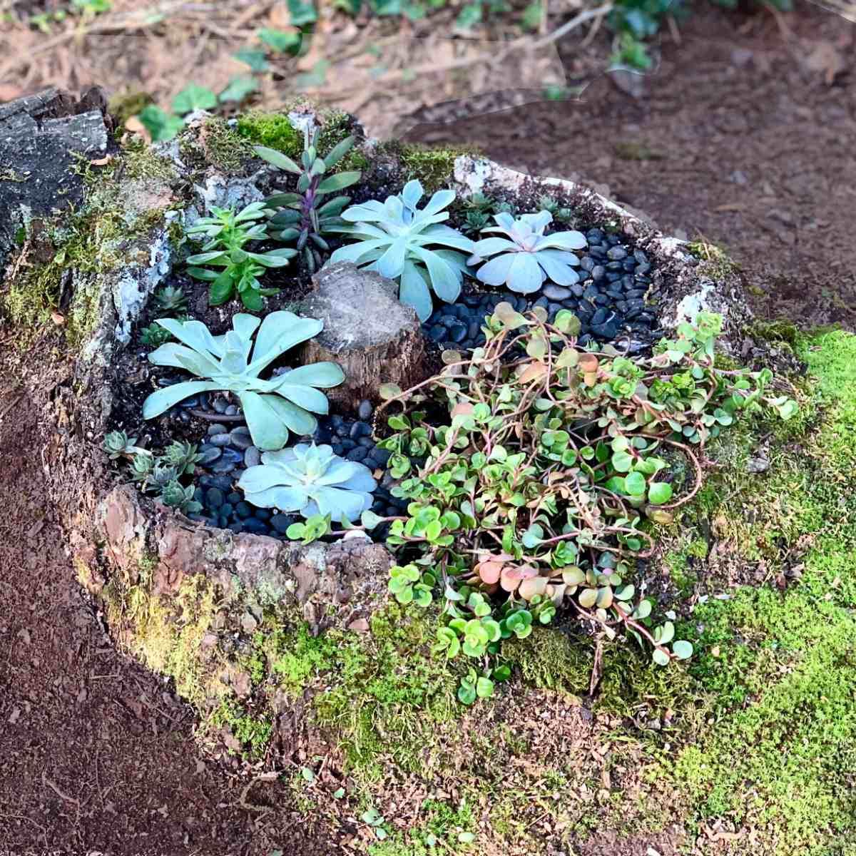 tree stump succulent garden