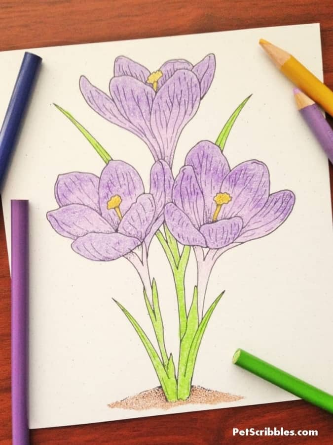 learn how to color a crocus