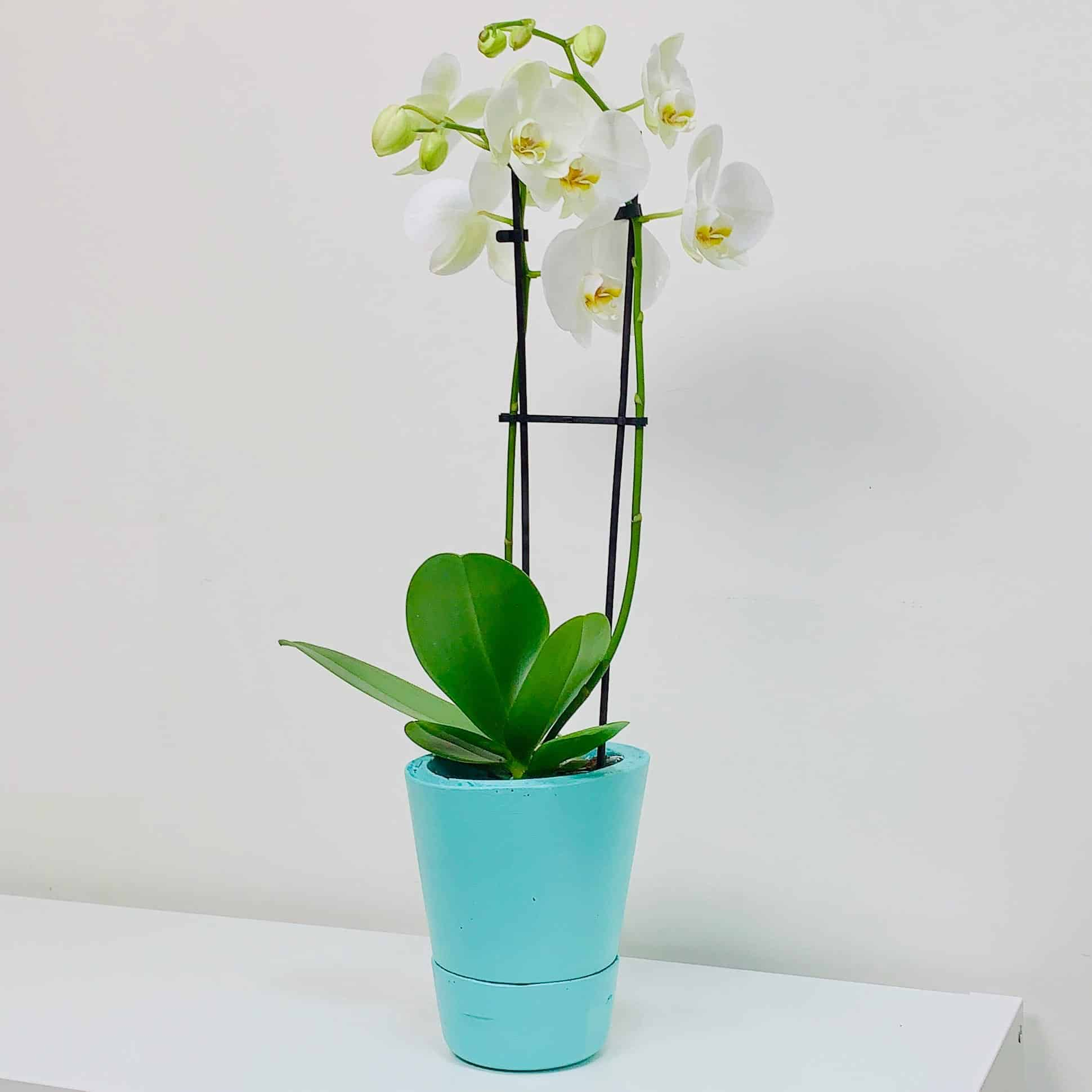 orchid in concrete DIY self watering planter that is turquoise