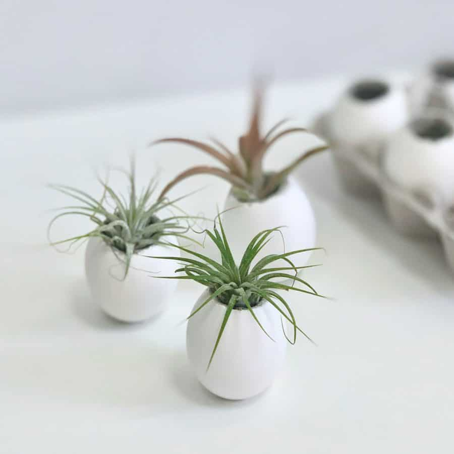 air plants in eggshell planters with carton