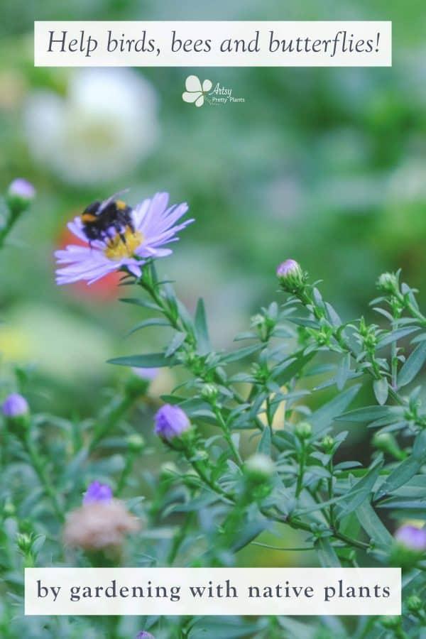 Native Gardening- bumble bee on purple coneflower