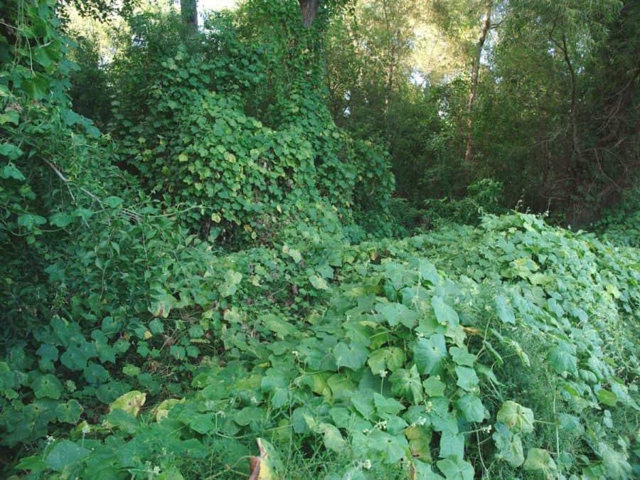 Native Gardening- invasive plant species kudzu ivy fully covering trees.