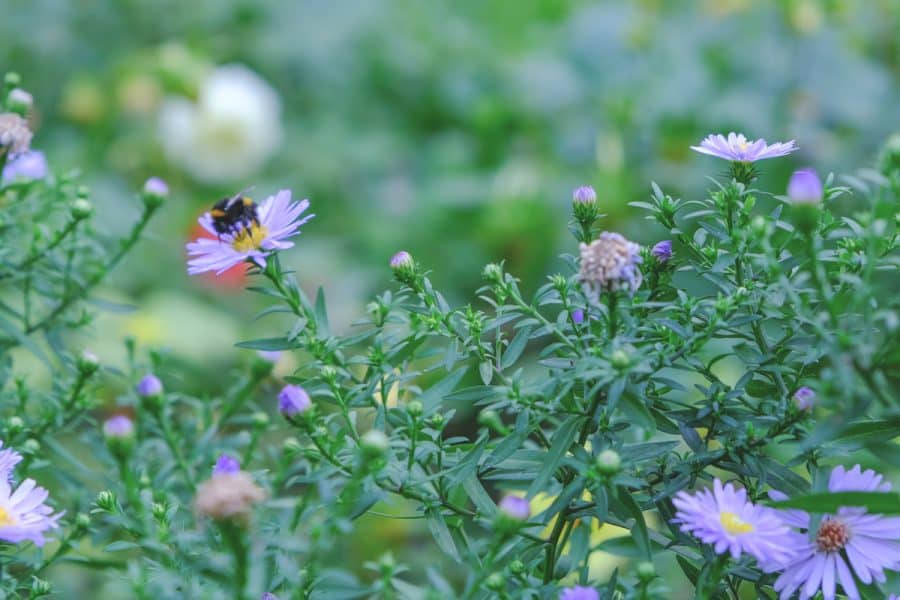 Native Gardening- blue aster in garden with bumble bee getting nectar from center of flower.