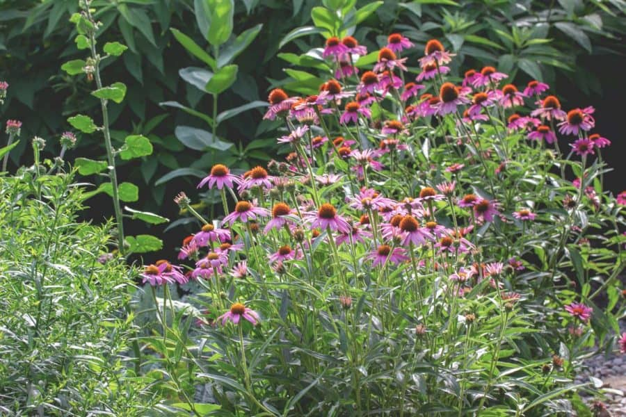 Native Gardening- garden filled with mostly pink coneflowers with varying heights.
