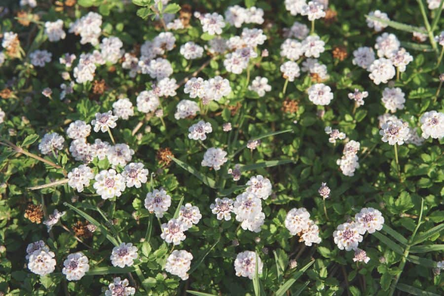 Native gardening- Fogfruit ground cover in bloom- flowers are white, contrasting against green