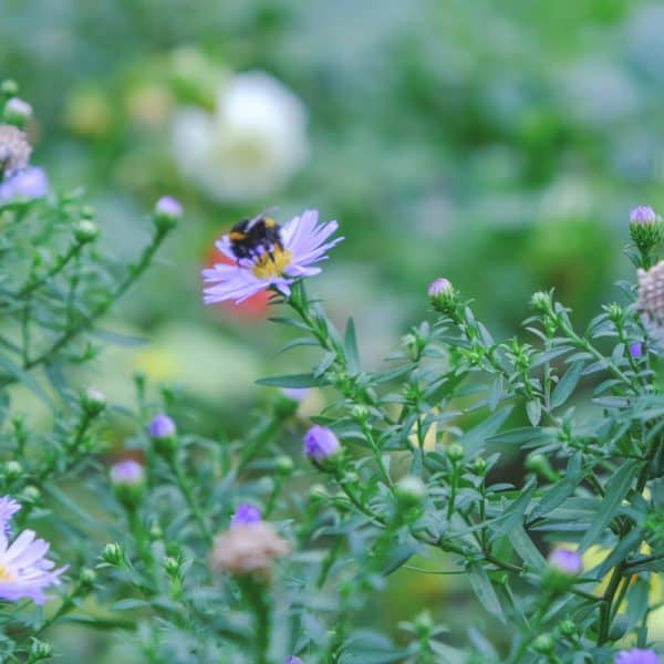 Native Gardening- bumble bee on purple aster