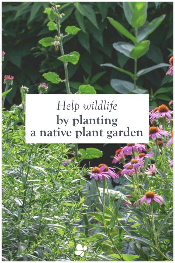 Native Gardening- pink coneflowers in garden