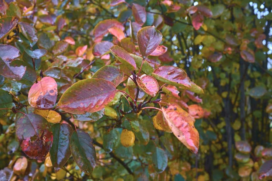 purple, magenta and red leaves next to green waxy leaves on branch in autumn