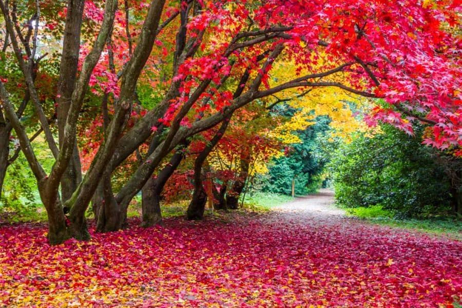 vibrant red and yellow arching trees over a long driveway, lots of colorful fall leaves on the ground