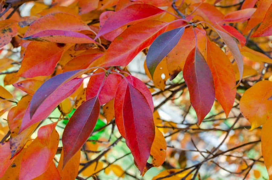 black tupelo/gum tree with magenta-red and red leaves