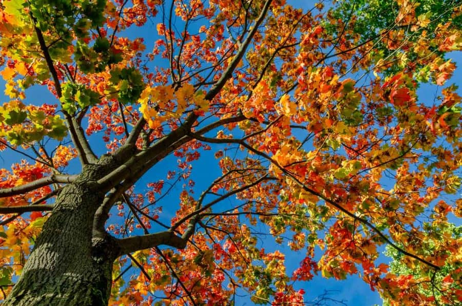 sugar maple tree in fall with red leaves
