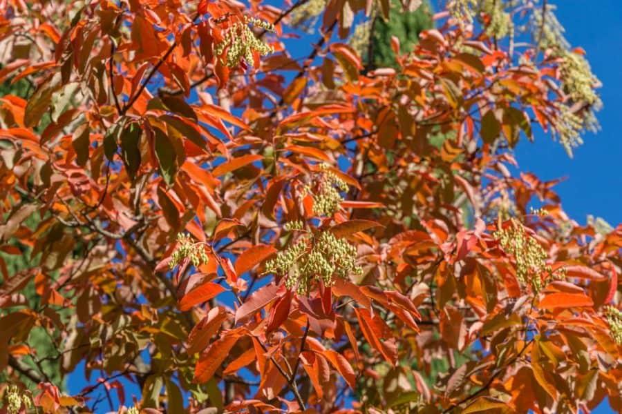 sourwood tree with orange vibrant fall leaves