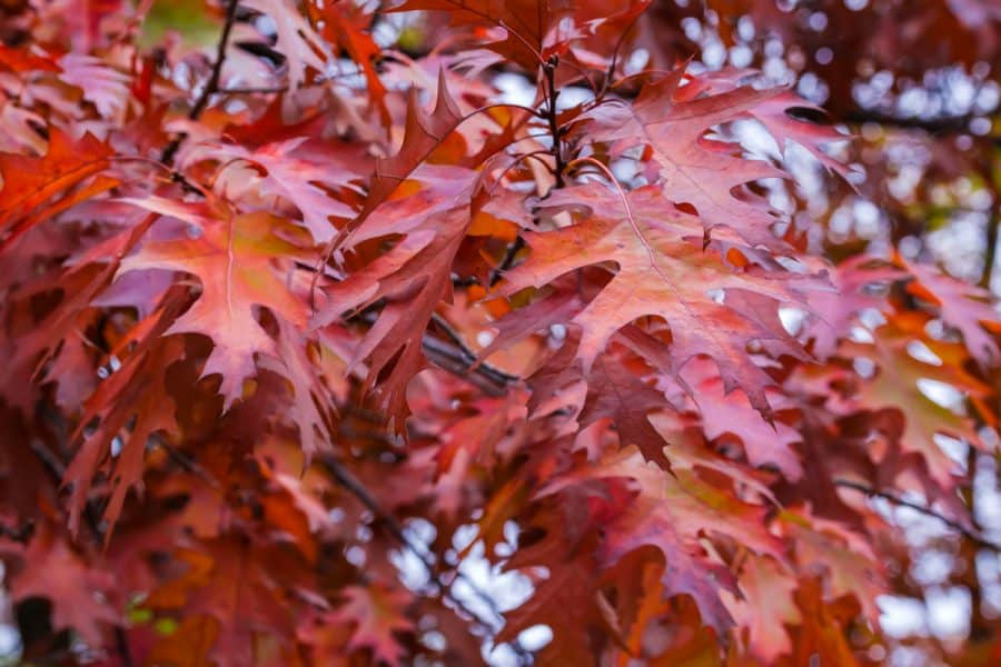 oak leaves on tree colored red with orange centers