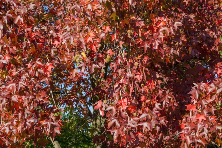 crimson red colored leaves on tree