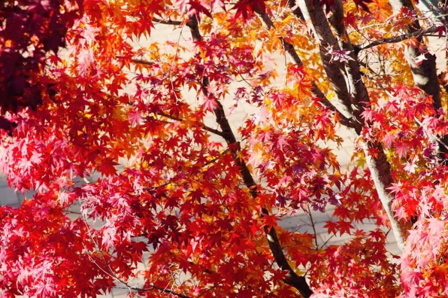 Japanese maple tree with red and orange leaves, sun shining through