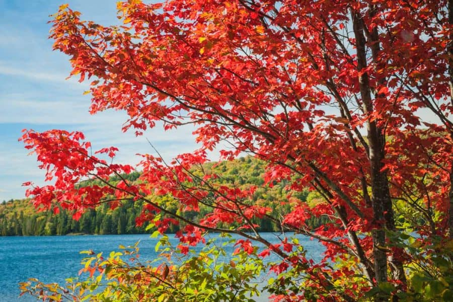 red maple tree in fall with red leaves. overlooking lake.
