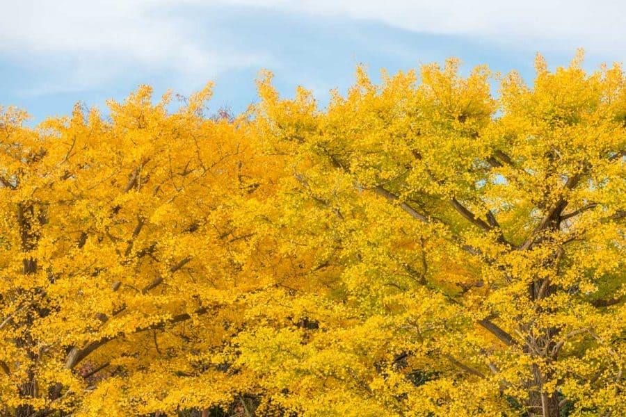 big bright yellow trees