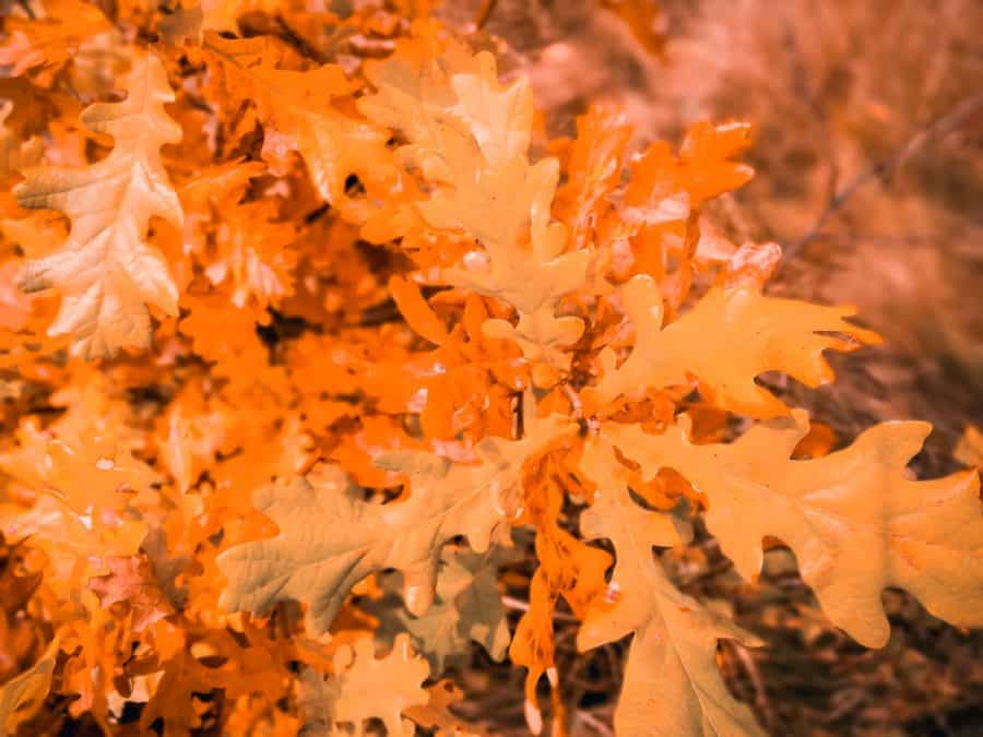 white oak leaves that are yellow /orange