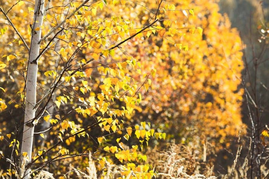 birch tree with white bark and yellow trees vibrantly showing against it