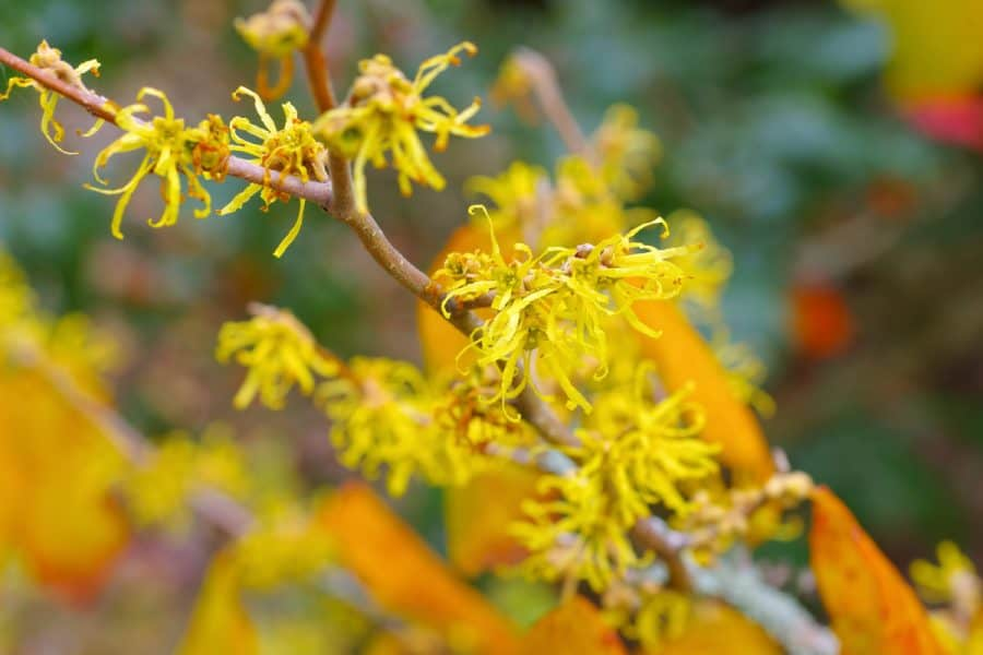 sun colored yellow star shaped leaves on a branch