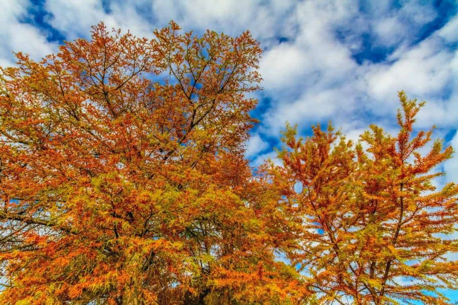 bald cypress fall tree shows multicored leaves all around in green, orange, red, and yellow