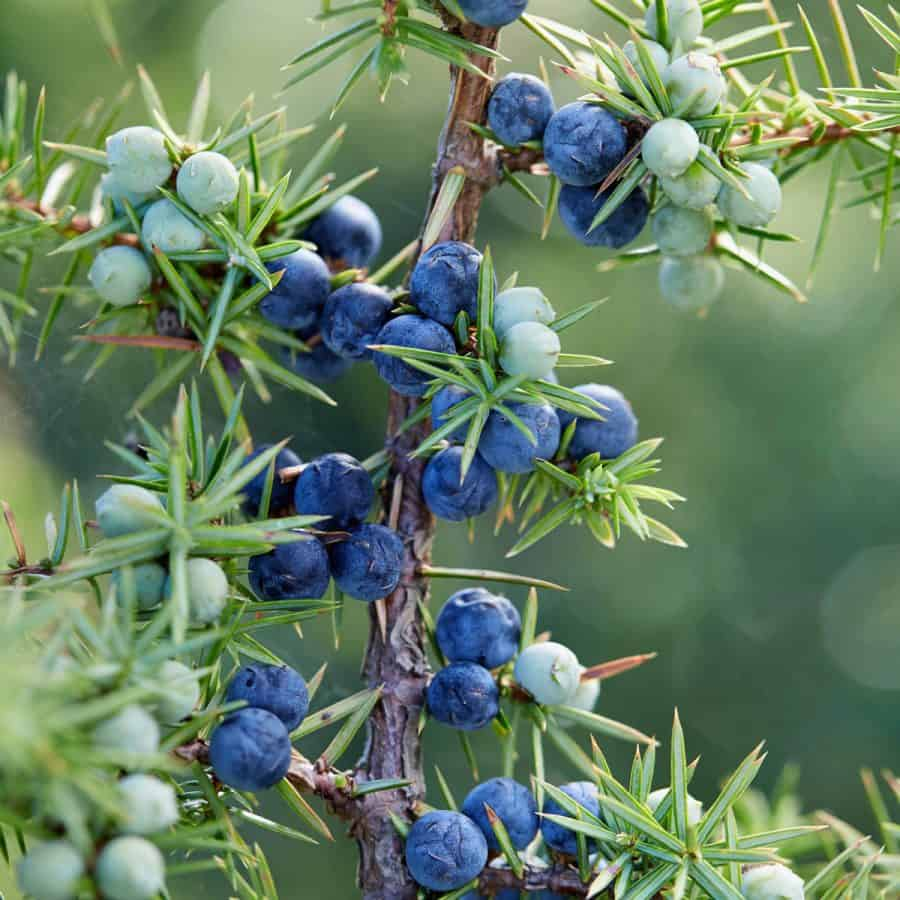 winter plant for planters-tree with jumpier berries that are dark blue and light green