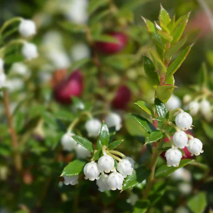 typical winter plant to go in pots -wintergreen bush with white flowers and red berries