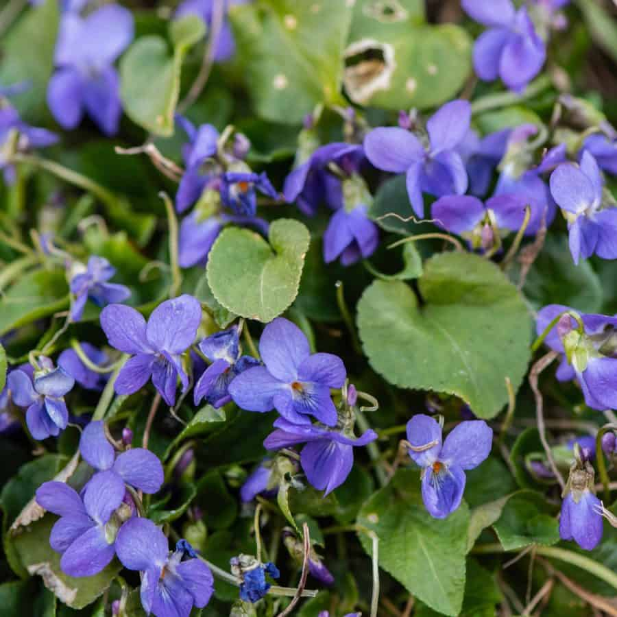 winter plant in pot -purple/blue violets with green leaves
