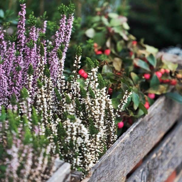 wood box with winter heather plant and wintergreen plant inside