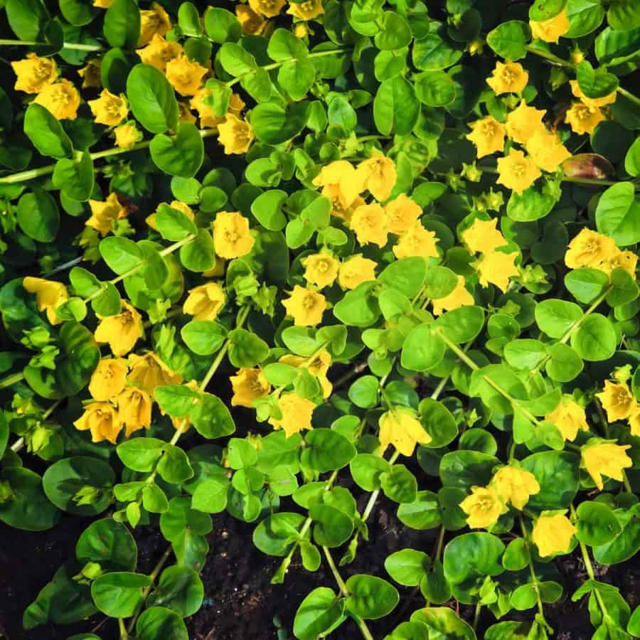 creeping jenny plant with yellow flowers winter plant for pots