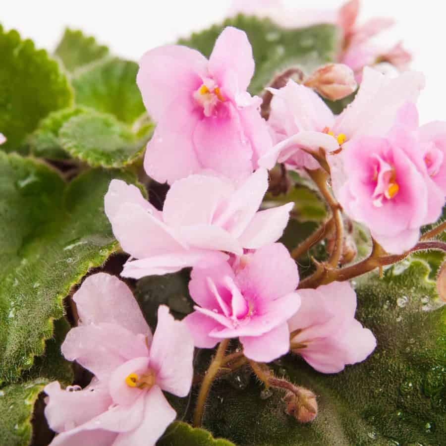 pink flowered pansies in outdoor winter pot