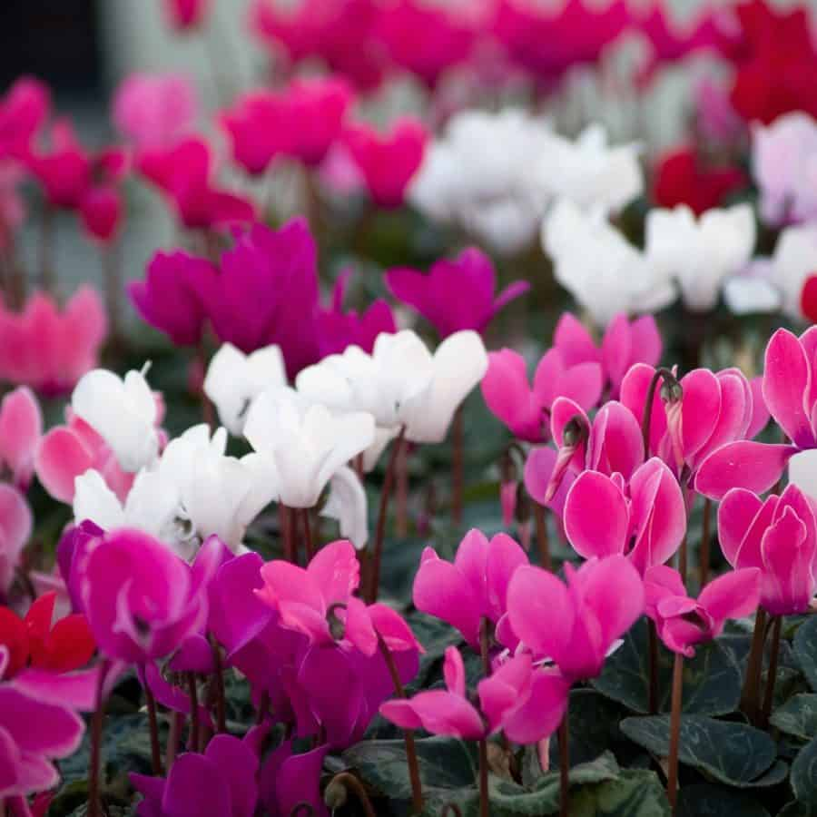 winter plant for pots-cyclamen flowers in white and various shades of pink