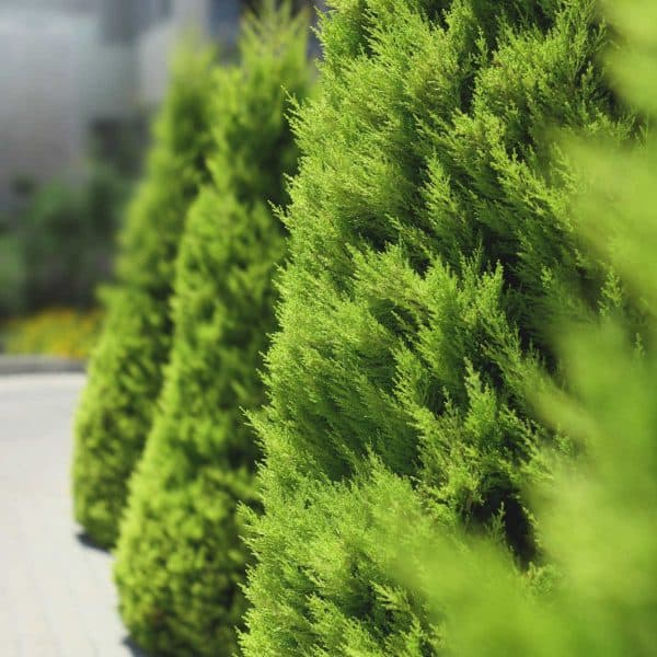 row of arborvitaes best for privacy in small yard